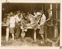 Young women working on a Connecticut tobacco plantation