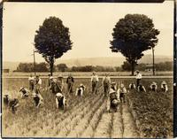 Workers wedding onions in Apalachin, New York
