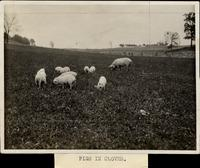"""""""Pigs in Clover"""""""