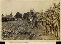 Harvesting corn for ensilage
