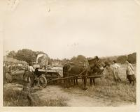 Young women loading tobacco on a wagon on tobacco plantation in Connecticut
