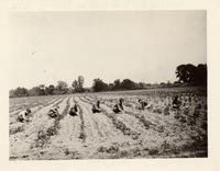 Young women working in tomato field in Irving, New York