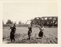 Young women working in corn field in Irving, New York