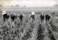 Women working in field, New York (1918)