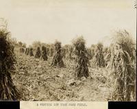 Corn field in Western New York