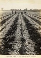 Field of harvested onions in New York